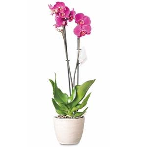 SPAR vlinderorchidee